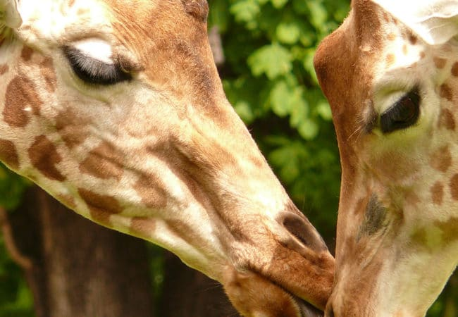 Two giraffes in Calvados in Normandy